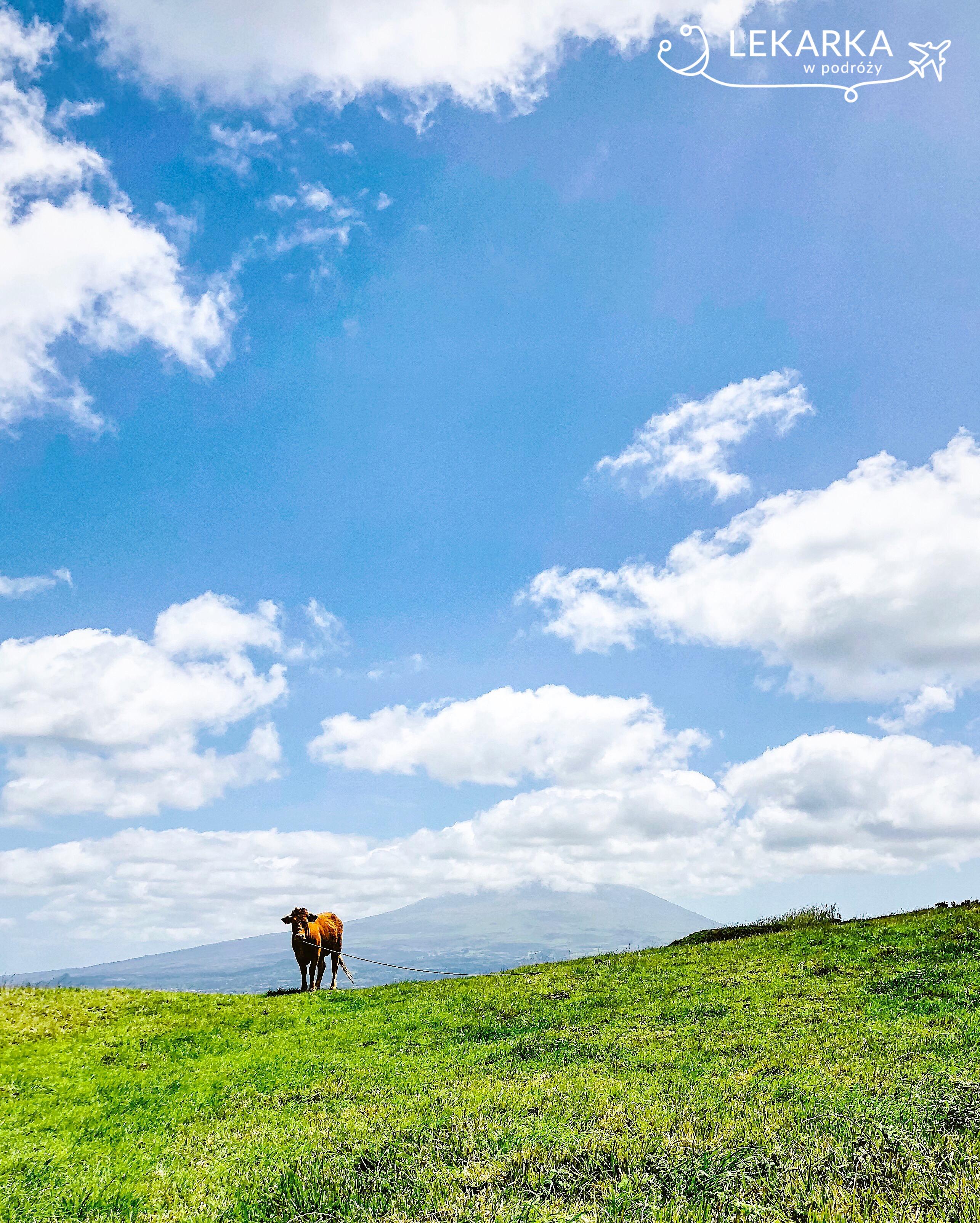 Krowy na Azorach